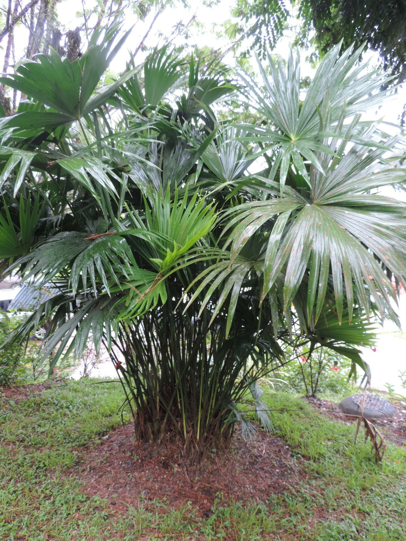 Carludovica palmata Dscn9533