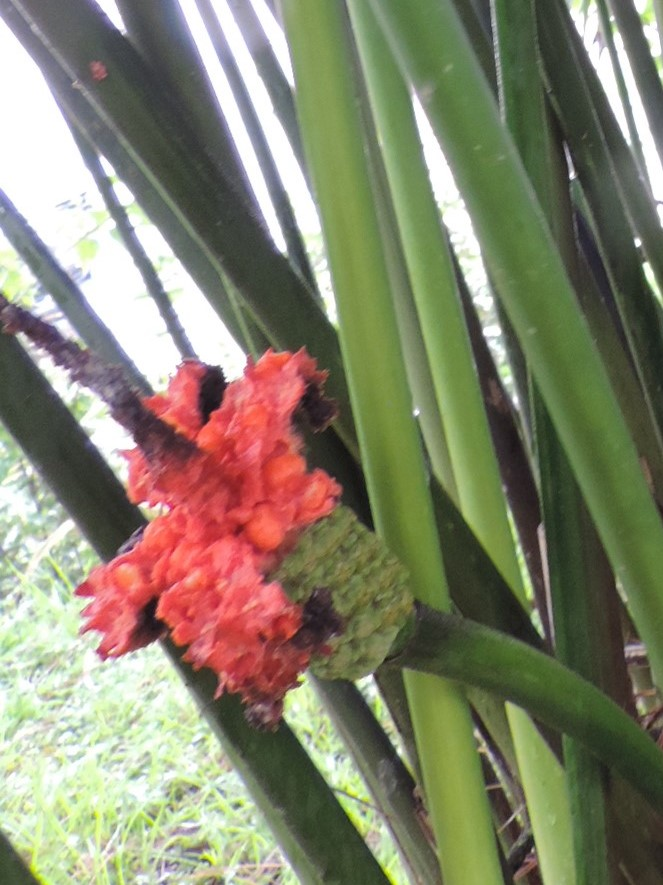Carludovica palmata Dscn9534