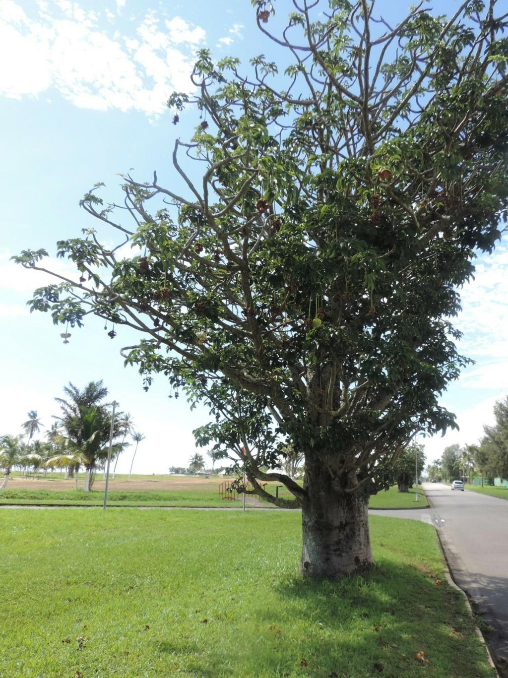 Adansonia le genre et les espèces Dscn9561