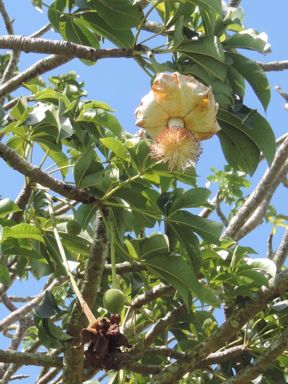 Adansonia le genre et les espèces Dscn9562