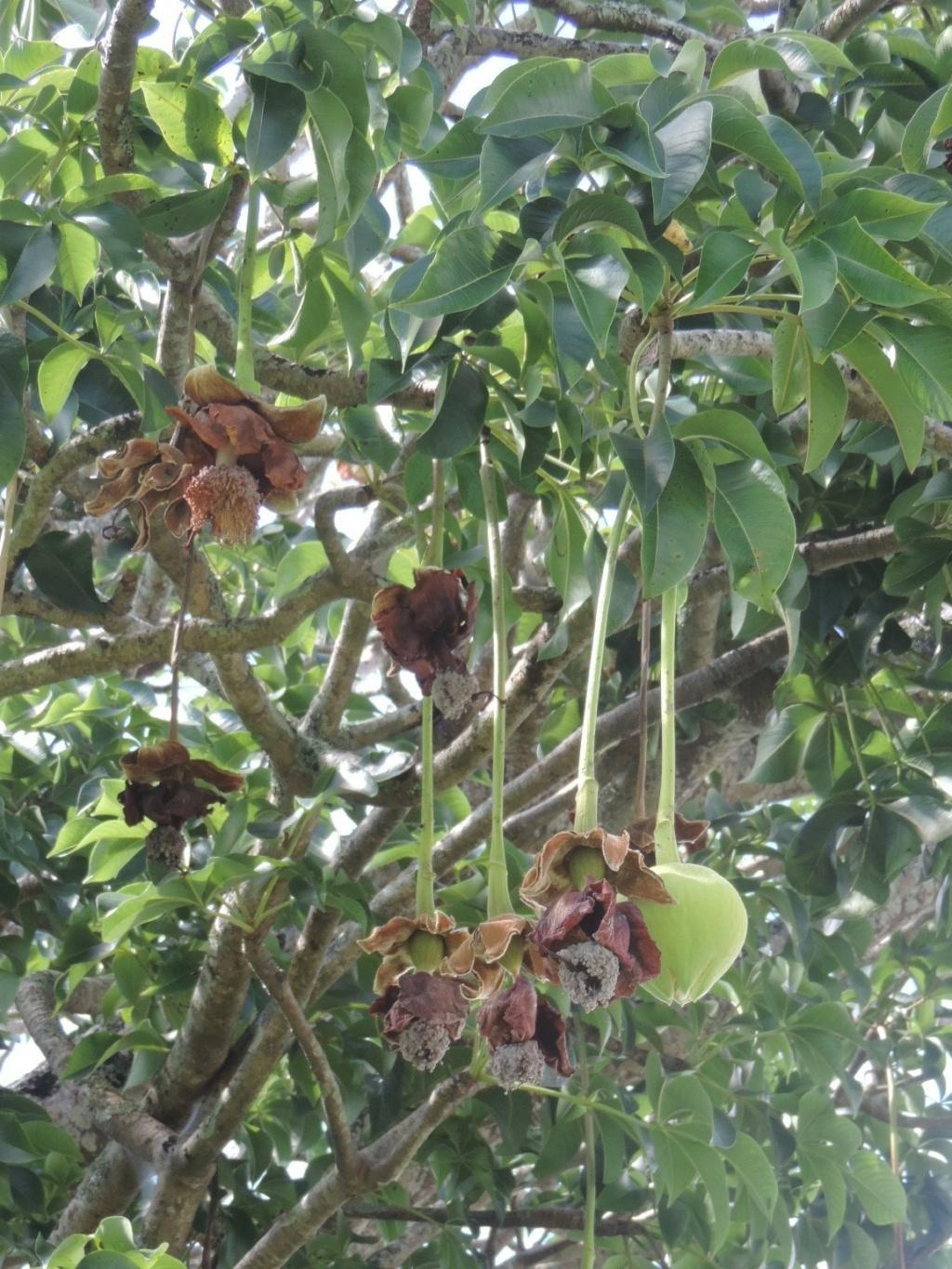 Adansonia le genre et les espèces Dscn9563