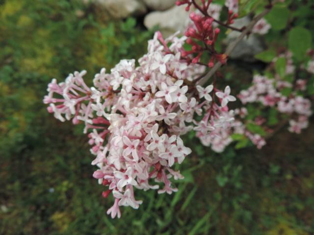 Syringa microphylla - lilas de Chine Dscn9849