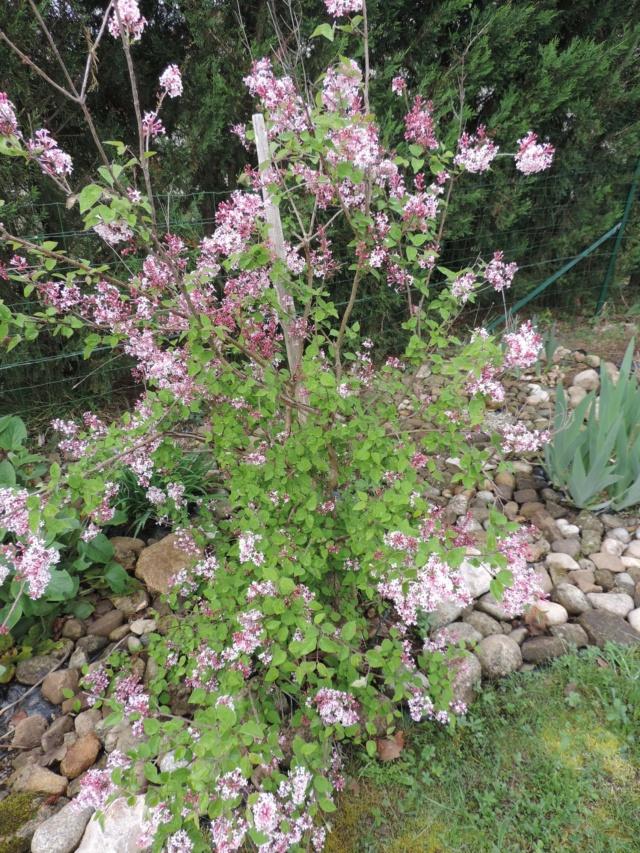 Syringa microphylla - lilas de Chine Dscn9850