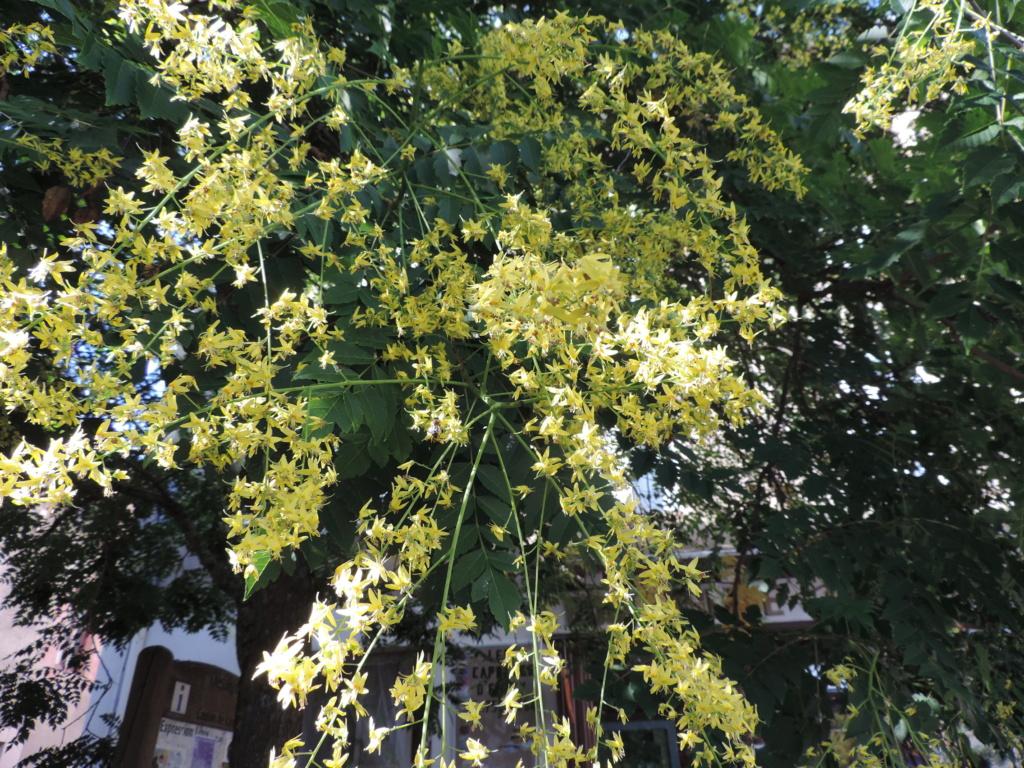 Koelreuteria paniculata - savonnier - Page 4 Dscn9896