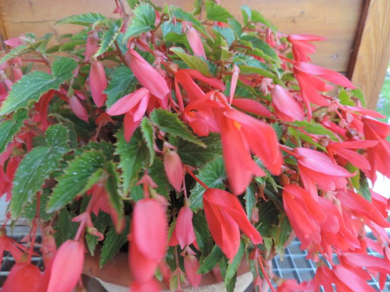 Begonia boliviensis  Dscn9937