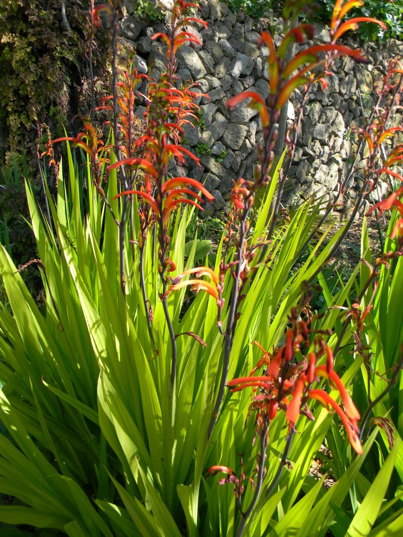 Chasmanthe bicolor Dscn9963