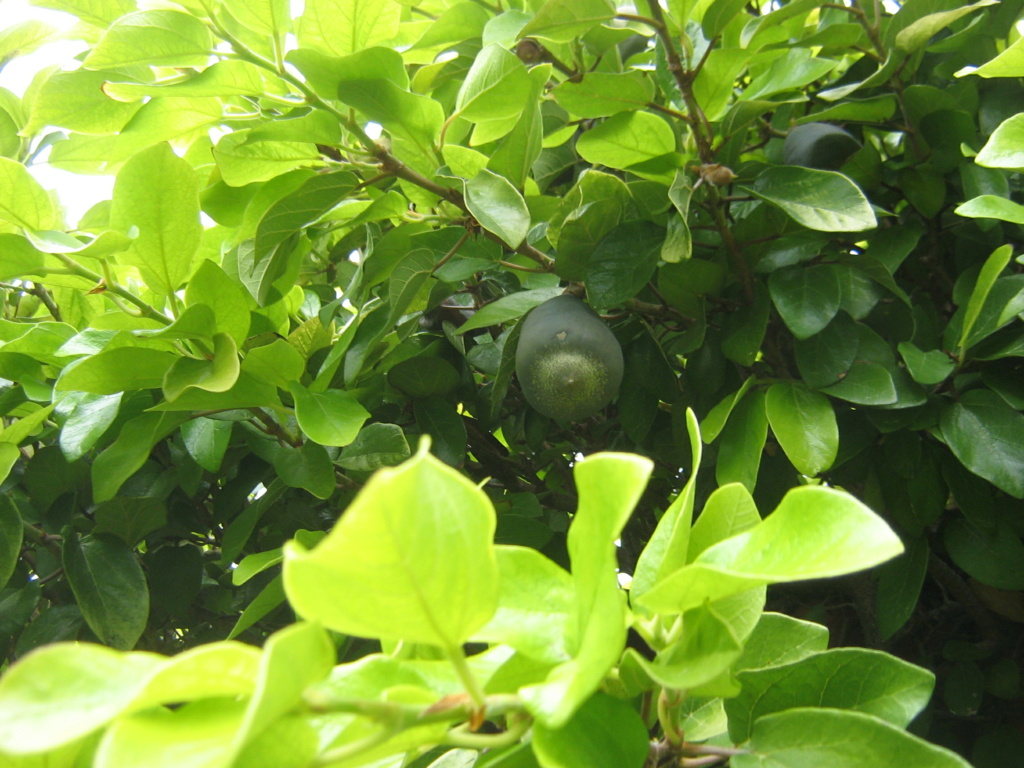 Ficus pumila - Page 6 Fernan14