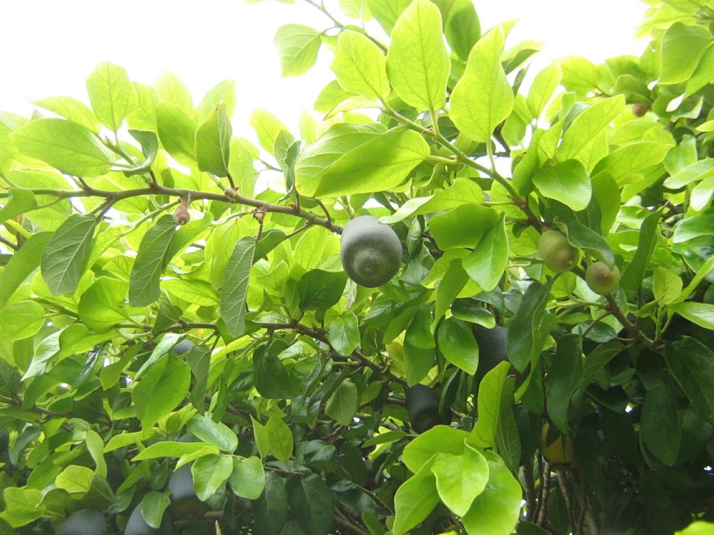 Ficus pumila - Page 6 Fernan15