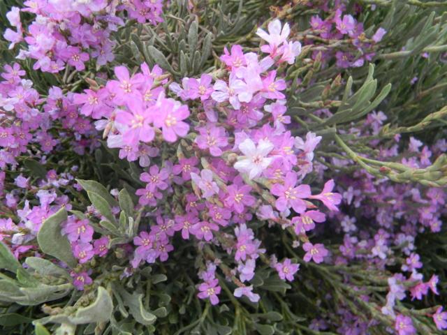 Plantes méditerrannéennes à identifier ou confirmer  Ile_de14