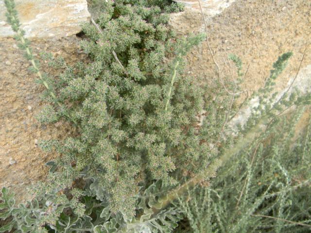 Plantes méditerrannéennes à identifier ou confirmer  Ile_de15