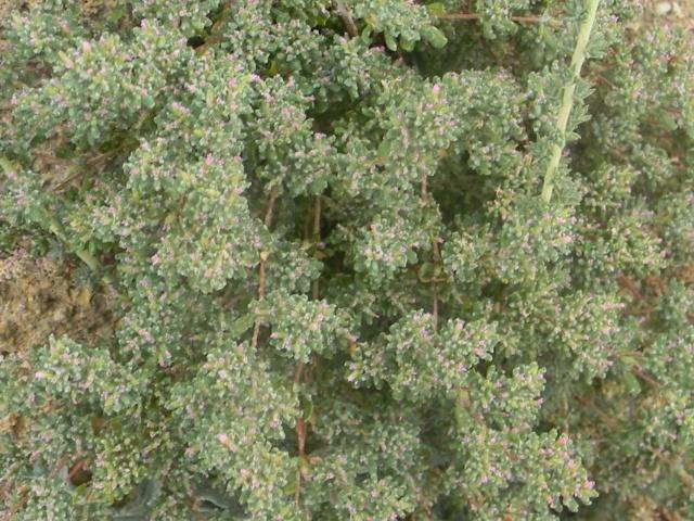 Plantes méditerrannéennes à identifier ou confirmer  Ile_de16