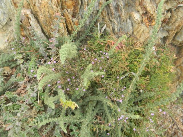 Plantes méditerrannéennes à identifier ou confirmer  Ile_de17
