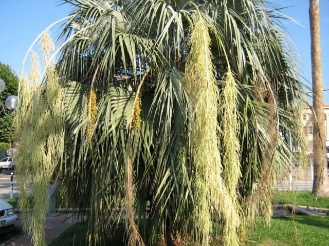 brahea armata - Brahea armata - palmier bleu du Mexique - Page 2 Img_0110
