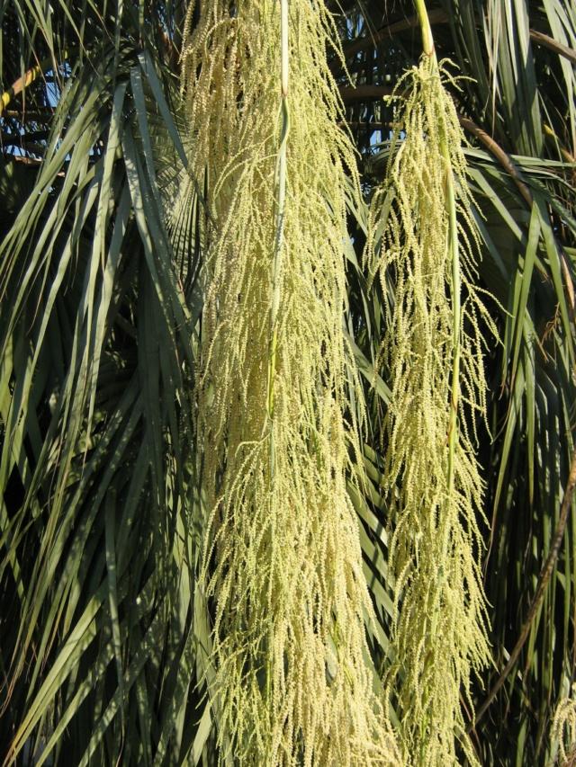 brahea armata - Brahea armata - palmier bleu du Mexique - Page 2 Img_0111