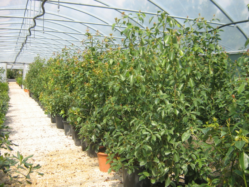 Cinnamomum camphora - camphrier - Page 5 Jacq_o10