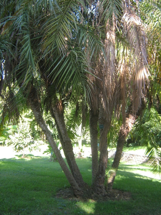 Phoenix roebelenii - palmier nain Jarden14