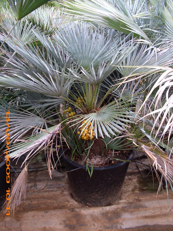 Brahea armata - palmier bleu du Mexique - Page 2 Jarden19