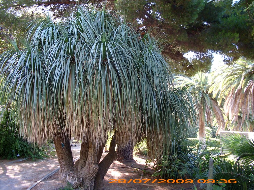 Phoenix roebelenii - palmier nain Jarden20