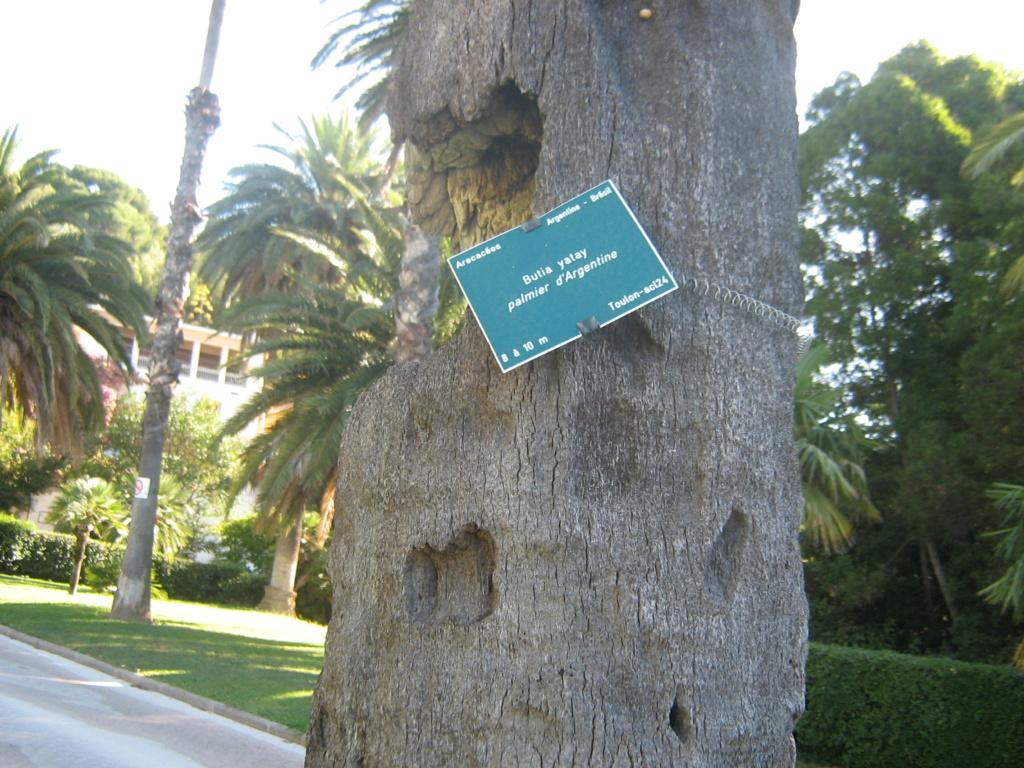 Phoenix roebelenii - palmier nain Jarden22