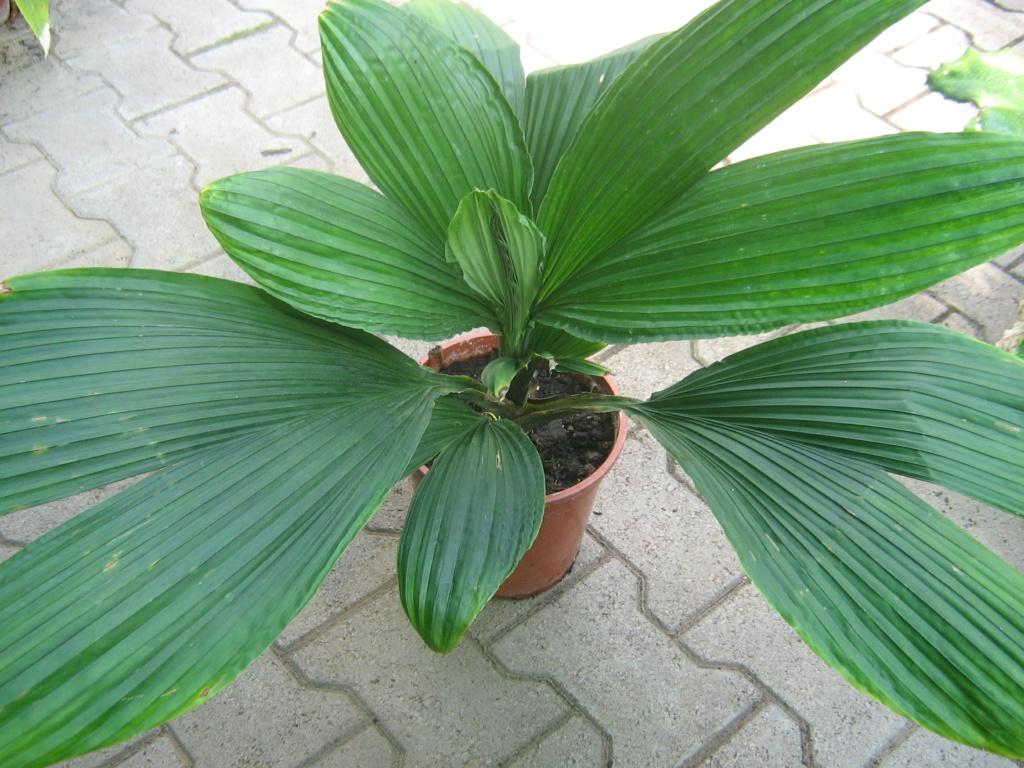 Carludovica palmata Jarden77