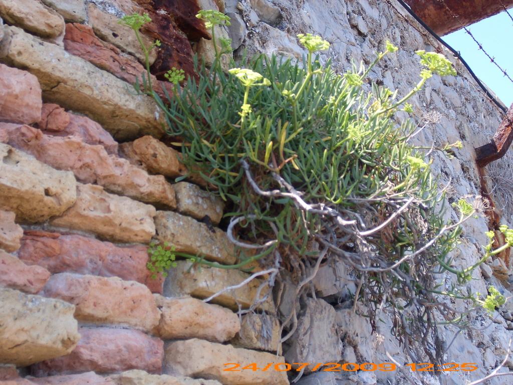 flore des vieux murs, rochers  et rocailles naturelles - Page 9 Jarden81