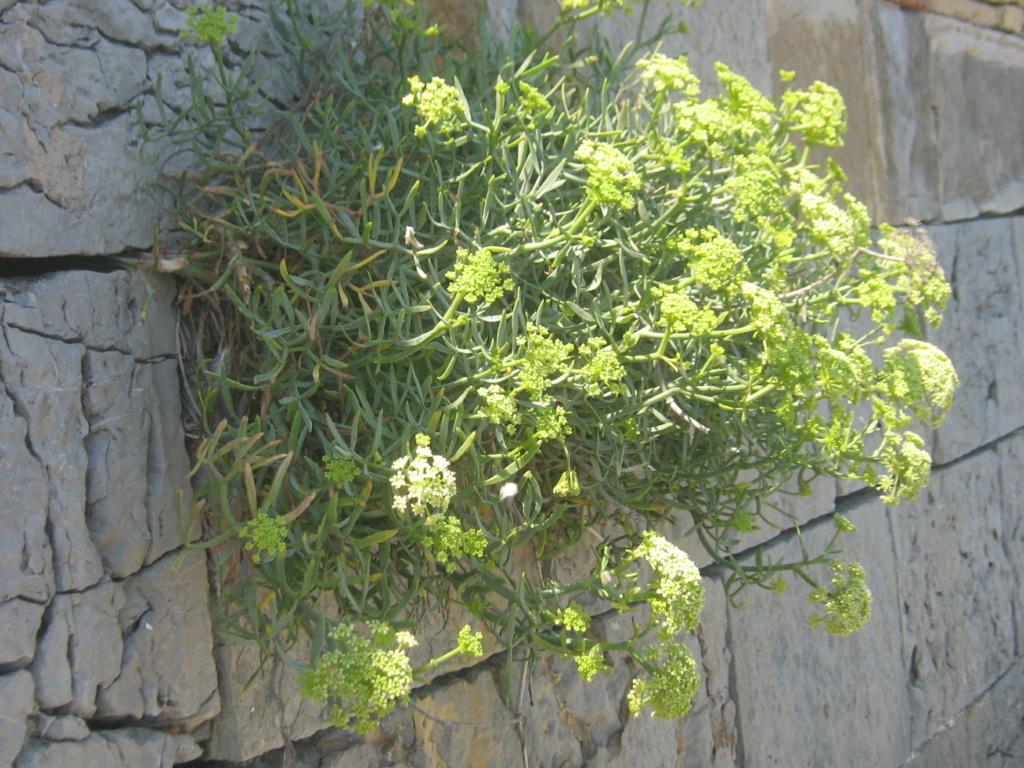 flore des vieux murs, rochers  et rocailles naturelles - Page 9 Jarden82