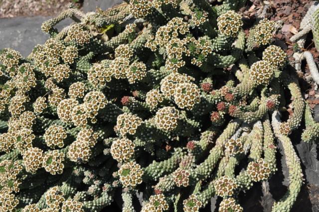 Euphorbia caput-medusae  Jardin10