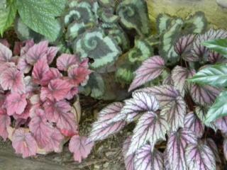 "Begonia rex "" Princess of Hanover"" Jardin11"