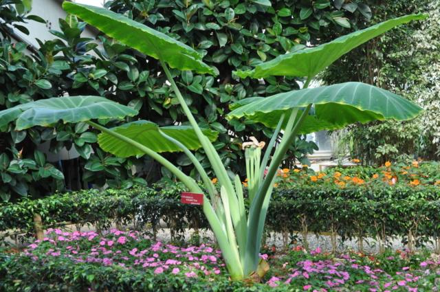 Colocasia gigantea Jardin12