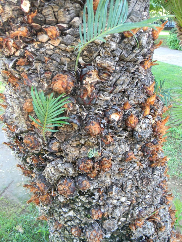 Phoenix roebelenii - palmier nain Jardin14