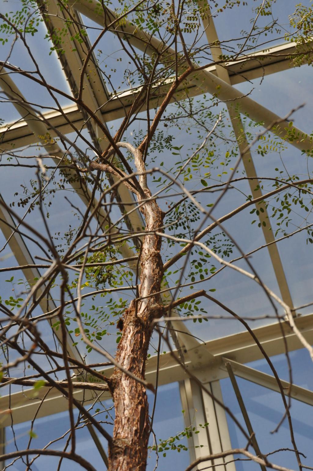 Petite devinette d'un arbre (peut être difficile) en serre  Jardin20