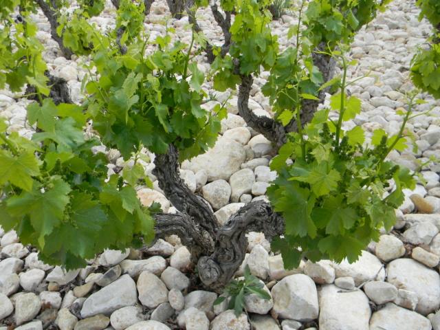 Vitis vinifera - vigne Mai_2010