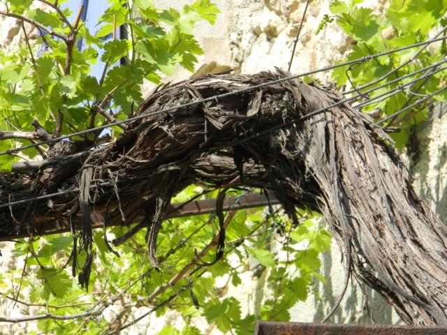 Vitis vinifera - vigne Mai_2011