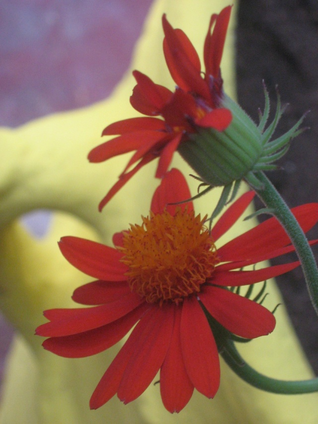 Tithonia rotundifolia - soleil du Mexique Maroc_10