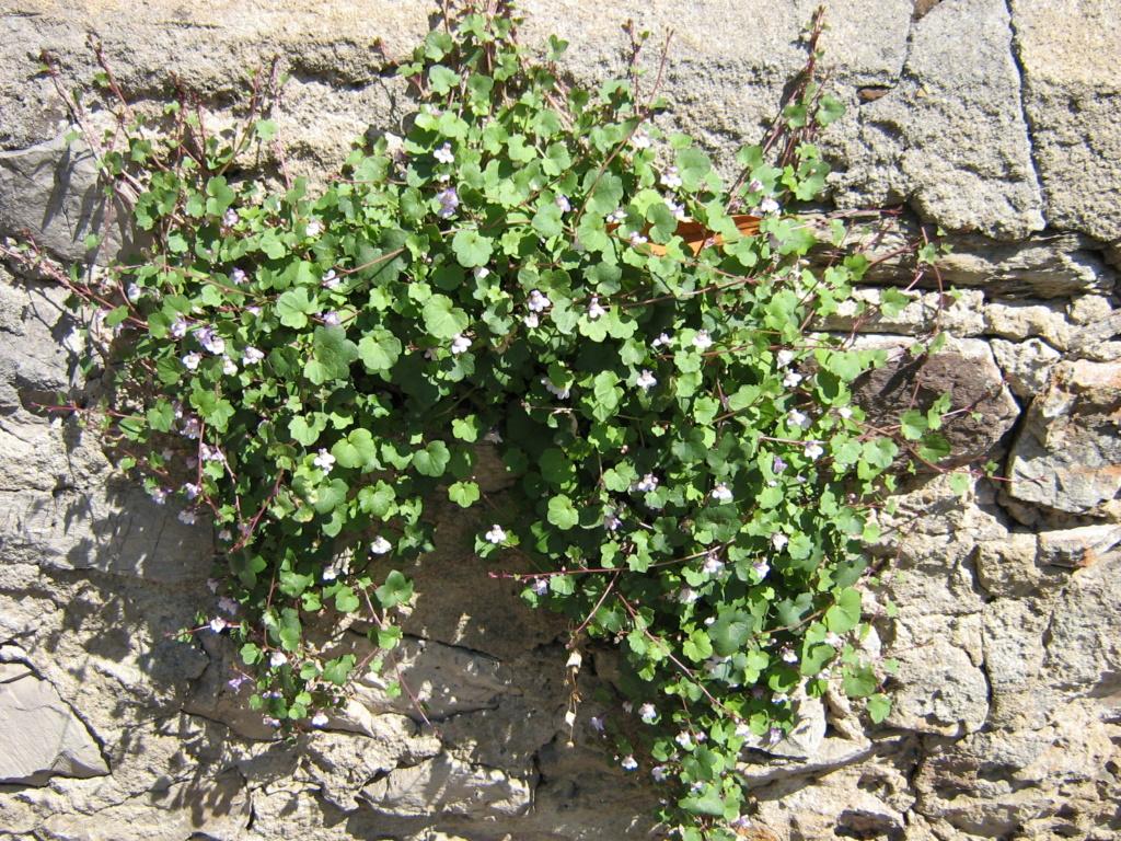 flore des vieux murs, rochers  et rocailles naturelles - Page 9 Musee_10