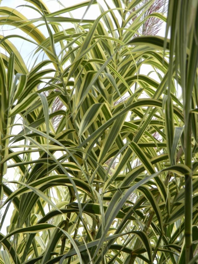 Un Hemerocallis panaché à identifier Museum10