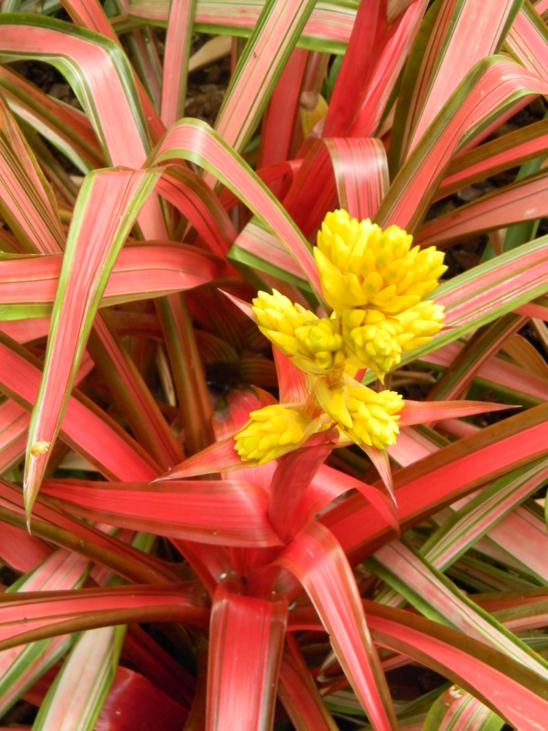 Bromeliaceae - famille - collections  - Page 6 Nice_p45