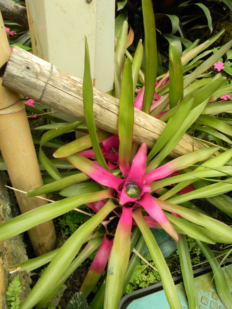 Bromeliaceae - famille - collections  - Page 6 Nice_p46