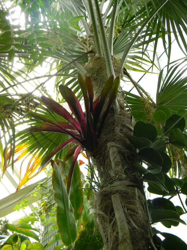 Bromeliaceae - famille - collections  - Page 6 Nice_p54