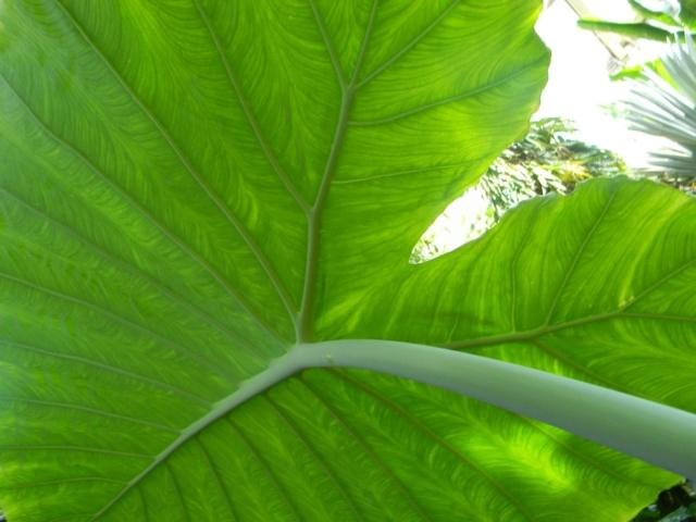 Colocasia gigantea Nice_p63