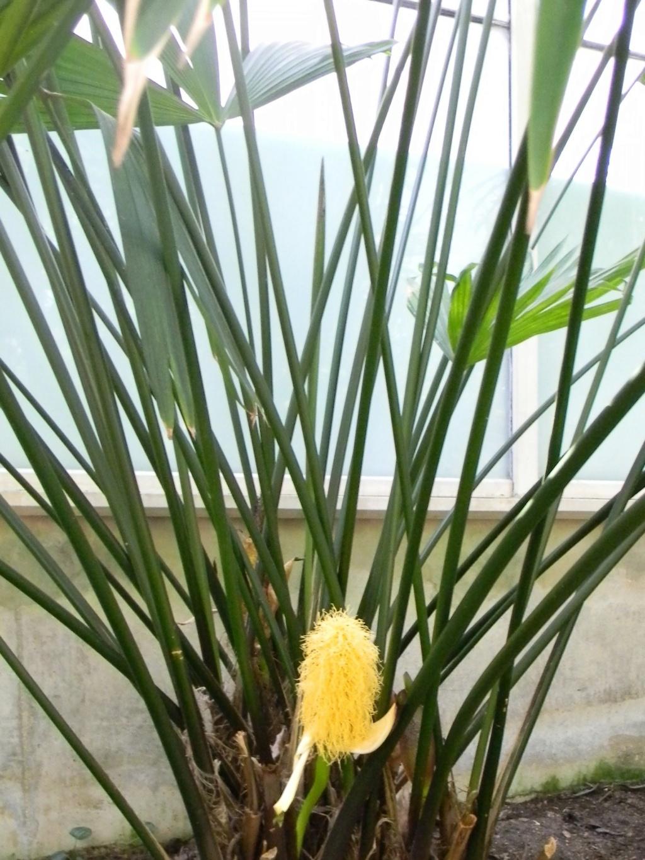 Carludovica palmata Nice_p71