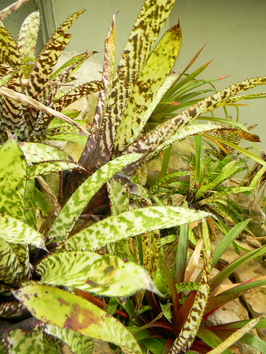 Bromeliaceae - famille - collections  - Page 6 Nice_p73