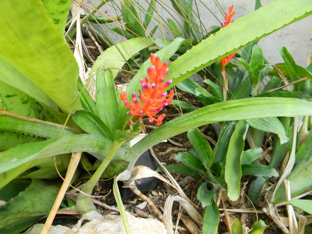 Bromeliaceae - famille - collections  - Page 6 Nice_p75