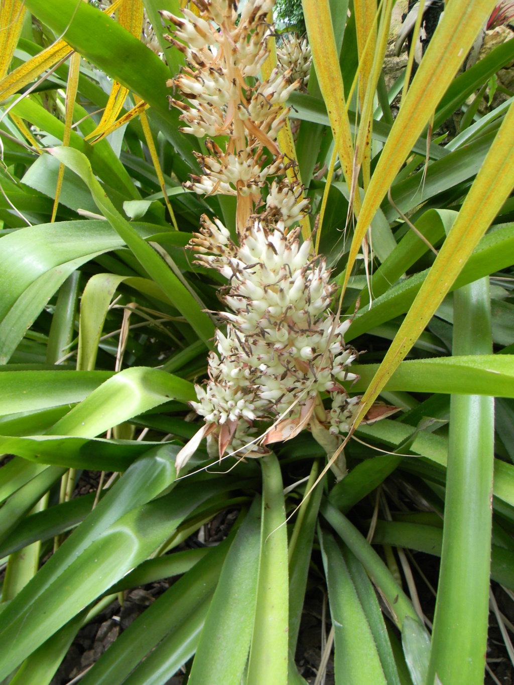 Bromeliaceae - famille - collections  - Page 6 Nice_p77