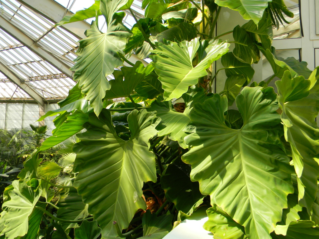 Philodendron giganteum Nice_p84