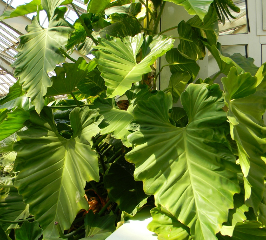 Philodendron giganteum Nice_p85