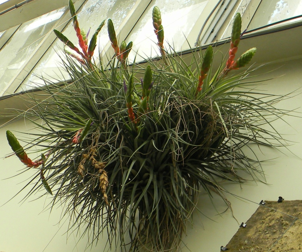 Bromeliaceae - famille - collections  - Page 7 Nice_p93