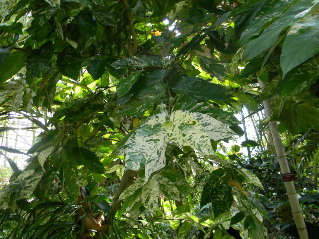 Ficus aspera 'Parcelli' Nice_p99