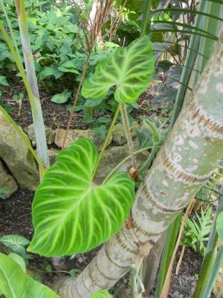 Philodendron verrucosum  Parc_p10