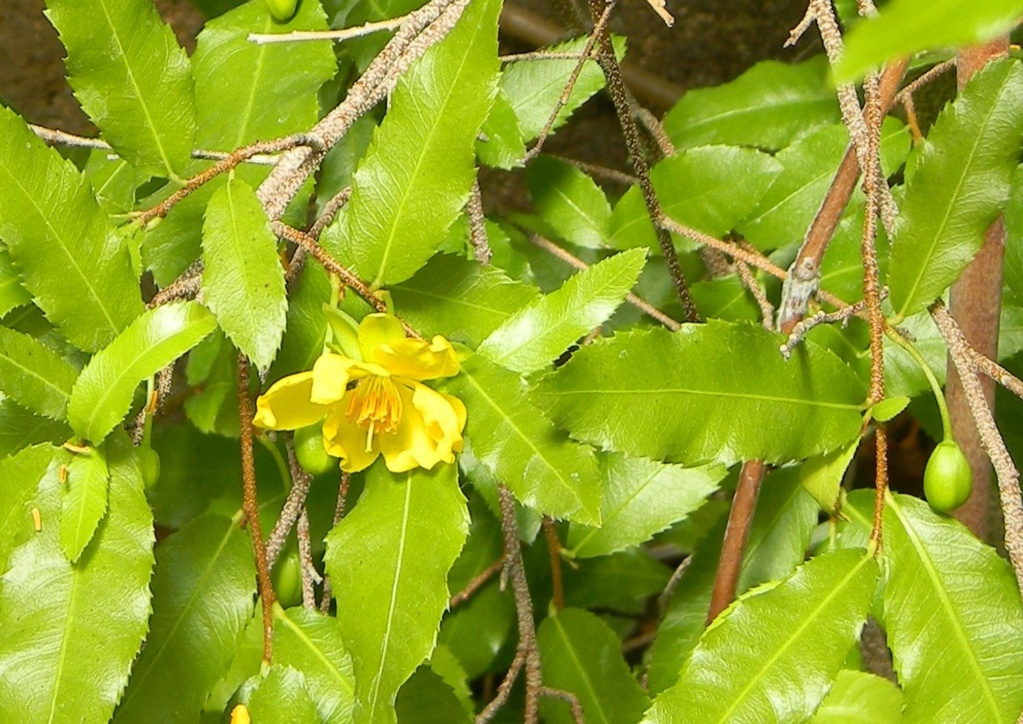 *Ochna* - Ochna serrulata - plante à Mickey Parc_p15